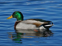 Male mallard duck. A male mallard duck on water Royalty Free Stock Images