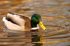 Male Mallard duck. Wildfowl beak rspb lake water uk wildlife mirror Royalty Free Stock Photography