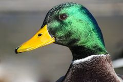 Male mallard duck on a wooden pier head portrait shot on a sunny day with nice shiny green feather. Head and yellow bill stock photography