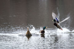 Male Mallard Ducks fight for female Royalty Free Stock Photos