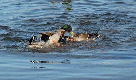 Male mallard ducks fighting. Royalty Free Stock Photography