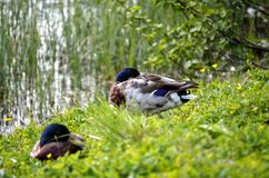 Male mallard ducks sleeping on green grass. Next to summer pond Stock Photos