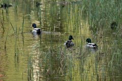 Male mallard ducks. Three male Mallard ducks swimming through seaweed in a pond Stock Image