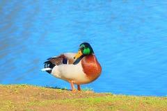 Male Mallard. Enjoying a nice sunny day at the lake Royalty Free Stock Photo