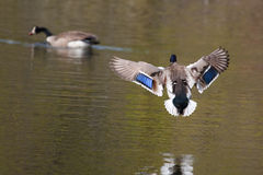Male Mallard in flight Stock Image