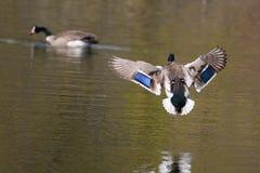Male Mallard in flight. Male Mallard landing in a small lake Stock Image