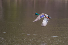 Male Mallard in flight. Mallard in flight and ready to land Stock Photo