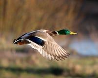 Male mallard in flight. Photograph of male mallard in flight Stock Images