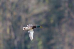 Male mallard in flight anas platyrhynchos. In sunlight Stock Photo