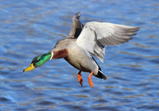 Male Mallard in Flight. A male mallard duck drake flying in to land on a lake Royalty Free Stock Images
