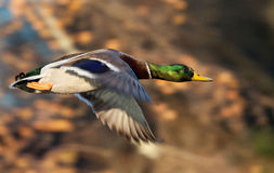 Male Mallard Royalty Free Stock Photo