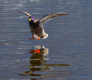 Male mallard in flight that lands on the water Stock Photo