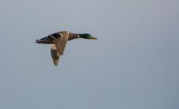 Male Mallard in flight. Mallards (Anas platyrhynchos) are quite helpless while moving on the ground but they are very fast flyers and of course extremely agile Stock Photography