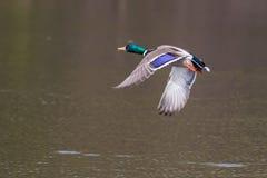 Male Mallard in flight. Mallard in flight and ready to land Royalty Free Stock Photo