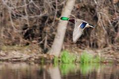 Male Mallard in flight. Mallard in flight with trees in the background Stock Photo