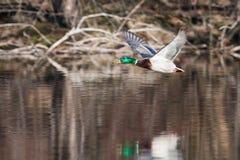 Male Mallard in flight. Mallard in flight with trees in the background Stock Images