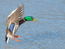 Male Mallard in flight wings spread.  Royalty Free Stock Photo