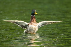 Male mallard flipping wings Stock Photography