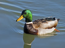 Male Mallard Stock Photo