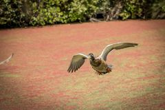 Male Mallard Flying Over Red Algae Pond. Mallard coming in for a landing Stock Photography