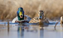 Male mallard follows female duck as they swim together on water surface of small lake stock photos
