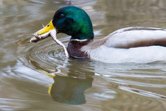 Male mallard with frog swimming Royalty Free Stock Image