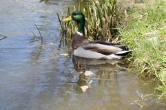 Male mallard with green head and brown feathers swimming on small pond in sunlight. Water reflections Royalty Free Stock Photos
