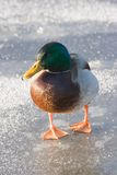Male mallard on the ice Stock Image