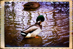 Male mallard Royalty Free Stock Photography