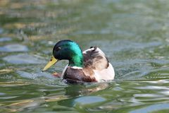 Male mallard on lake surface Stock Image