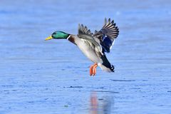 Male mallard. Landing on the ice in winter Stock Images