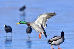 Male mallard. Landing on the ice in winter Stock Photo