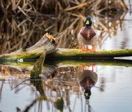 Male mallard on a log Stock Photography