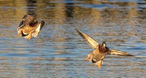 Is it a bird or plane no it is super mallard stock image