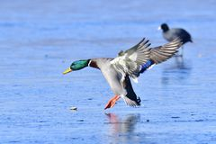 Male mallard. Landing on the ice in winter Royalty Free Stock Photos