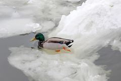 Male mallard in the middle of the young floating ice on the water surface. In winter Royalty Free Stock Photo