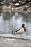 Male mallard overlooking creek on a winter day Royalty Free Stock Photography