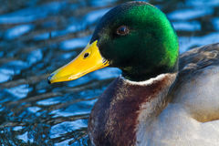 Male Mallard perched Stock Images