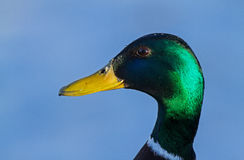 A male Mallard portrait. A close-up of a male Mallard in Lithuania Stock Photo