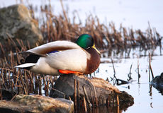Male Mallard in profile. Standing on the stone near the water Stock Photography
