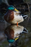 Male mallard reflective. Pond in the morning sun at daybreak with yellow bill Stock Photo