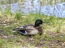 Male Mallard Resting. Closeup duck green head Stock Photography