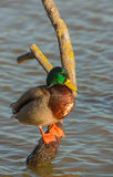 Male Mallard resting on tree Royalty Free Stock Images