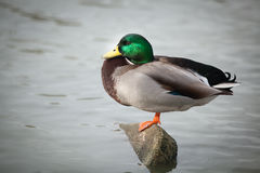 A male mallard is resting Royalty Free Stock Photo