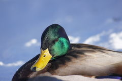 Male Mallard Rests in the Snow. Close up of  male mallard resting in the snow Stock Image