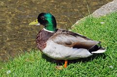 Male Mallard on riverbank, Bourton on the Water. Stock Photography