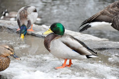 Male Mallard searches for food in the melting snow. Male Mallard drake searches for food in the melting snow, behind him there is a flowing creek Royalty Free Stock Photo