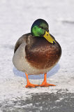 Male Mallard on snow. Frozen Duck Pond - Anas platyrhynchos Stock Photography