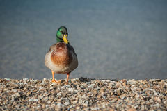 Male mallard standing on pebble beach Stock Photo