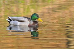 Male mallard swim Royalty Free Stock Images